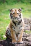 Young amur tiger Stock Photo