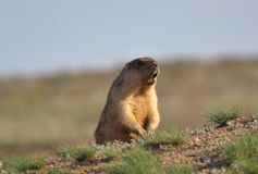 The amusing singing groundhog. Young and amusing groundhog in the wild nature stock photos