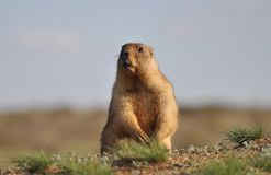 Small funny groundhog. Young and amusing groundhog in the wild nature stock images