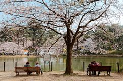 Free Young And Old Couples Sit On Benches Under A Sakura Tree & Enjoy The Beautiful Lakeside Scenery In Omiya Stock Images - 139994504