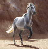 Young andalusia horse. A young andalusia horse increases with the front legs, brown rocks in the background Royalty Free Stock Image