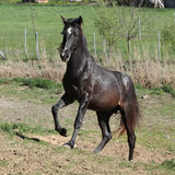 Young andalusian stallion running Royalty Free Stock Image