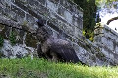 Young Andean condor on the grass next to castle wall - Warwick, Warwickshire, UK. Young Andean condor / Vultur gryphus / on the grass next to castle wall royalty free stock image