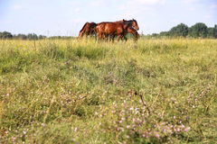 Young anglo arabian foals and mares grazing peaceful together at. Herd of gidran horses eating fresh mown grass on hungarian meadow aka puszta Royalty Free Stock Photography
