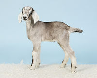 Young Anglo-nubian goat Stock Images