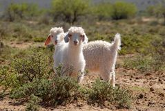 Young Angora Goats Royalty Free Stock Photos