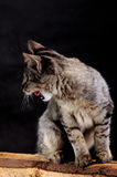 Young angry cat growls. Portrait of a puppy cat roaring Stock Photo