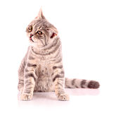 Young angry cat isolated Royalty Free Stock Photography
