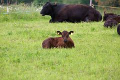 Young Angus Calf. This photo shows a young Angus calf with its herd Stock Photos