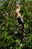 Young Anhinga Bird Royalty Free Stock Images