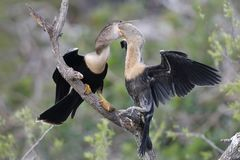 Young Anhinga reaching into its mother`s throat to extract a partially digested meal. Venice, Florida Stock Photo