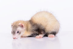 Young animal ferret Stock Photo