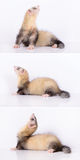Young animal ferret Stock Image