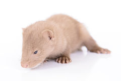 Young animal mink Stock Images