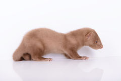 Young animal mink Stock Photos
