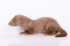 Young animal mink Royalty Free Stock Photo
