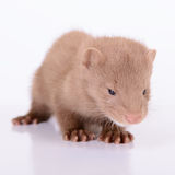 Young animal mink Stock Image
