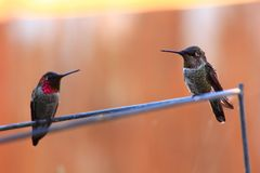 Young Annas Hummingbirds Royalty Free Stock Image