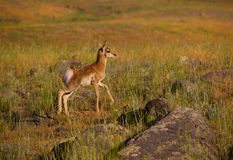 Young antelope royalty free stock photography