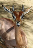 Young Antelope Stock Photos
