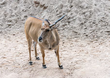 Young antelope with long horn. Royalty Free Stock Photo