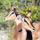 Young antelopes in Namibia. Africa. Stock Image