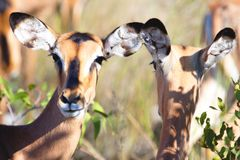 Young antelopes in Namibia. Africa. Royalty Free Stock Photos
