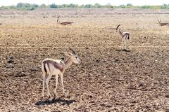 Young antelopes in a safari park on the island of Sir Bani Yas, United Arab Emirates stock photography
