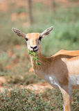 Young antilope eating. Young antilope eating in national park Royalty Free Stock Images
