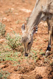 Young antilope. Young antilope eating in national park Stock Images