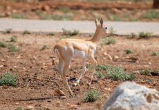 Young antilope running. Young antilope walking in national park Royalty Free Stock Image
