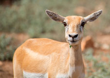 Young antilope. Stock Image