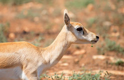 Young antilope. Young antilope walking in national park Royalty Free Stock Photos