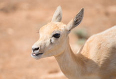 Young antilope. Royalty Free Stock Photo