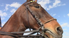 A young anxious polo pony. A young polo pony is anxious before the beginning of the polo games in Scottsdale, Arizona stock video footage