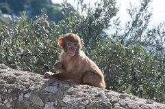 Young ape. A mischief young baby barbary ape munching on a twig Royalty Free Stock Images