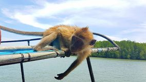 Ape catching fruits on a boat. Young ape is catching fruits on the roof of a longtailboat in Thailand mangrove forest on koh Lanta island riverside Royalty Free Stock Images