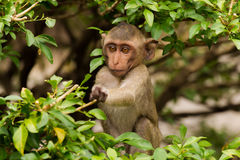 Young ape picking some food. A young ape ( species of Longtail Makake) picking some leaves for eating Stock Image