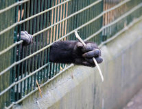 Young ape reaching through bars of cage. Young ape`s hand reaching through bars of cage royalty free stock photography