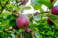 Young Apple fruit seen on a commercial orchard showing the young fruit in early summer. A number of pear and apple trees are within this orchard which helps to Royalty Free Stock Image