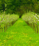 Young apple garden in blossom. With green grass lane with dandelions in the middle Royalty Free Stock Photos