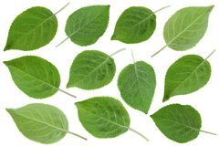 Young apple leaf collection. Young apple leaf set isolated on white background stock photography