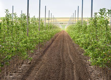 Young apple orchard Royalty Free Stock Photos