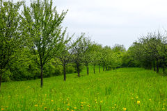 Young apple orchard Royalty Free Stock Image