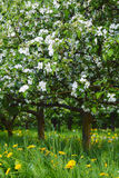 Young apple orchard Royalty Free Stock Photography