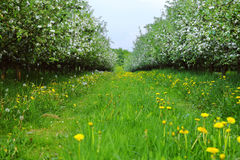 Young apple orchard Royalty Free Stock Photo