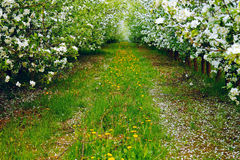 Young apple orchard Stock Images