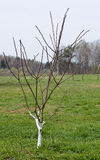 Young apple tree Royalty Free Stock Image