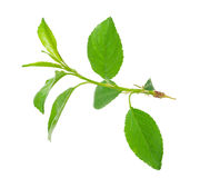 Young apple tree branch Royalty Free Stock Image