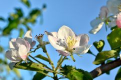 Young apple-tree flowers in the spring garden.  Stock Images